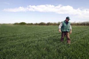 КАТАСТРОФА Ове године ћемо пожњети два милиона тона пшенице мање него лане!