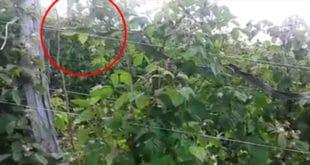 """У селу Волујац код Ужица мештани у малињаку набасали на """"ужичку анаконду"""" (видео)"""