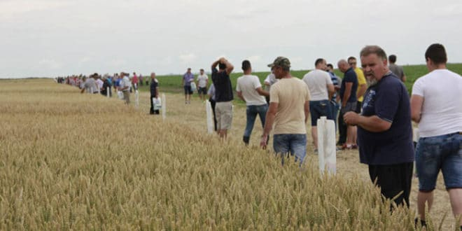 """Дан поља на """"Златици"""" у средњем Банату: Жито слабије родило"""