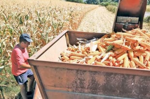Суша смањила род кукуруза 40 одсто, угрожен извоз 9