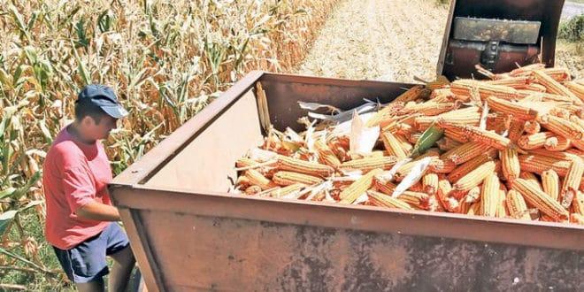 Суша смањила род кукуруза 40 одсто, угрожен извоз