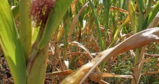 Стручњаци: Штета од суше можда већа од милијарду евра 7