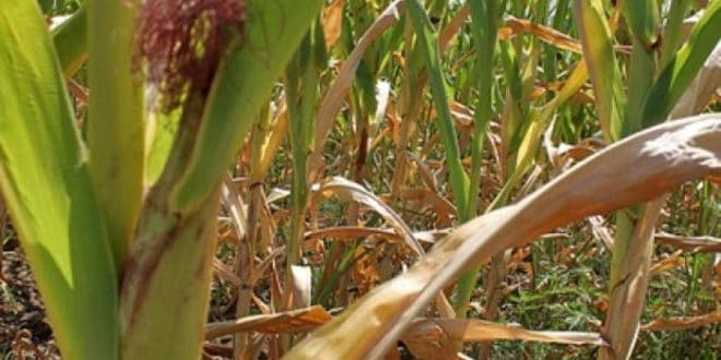 Због суше четири пута мањи род кукуруза