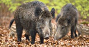 ХАОС У НОВОМ САДУ: Дивље свиње допливале до Штранда, ловци блокирали Кинеску четврт 7