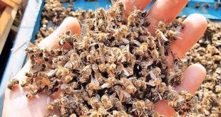 Пчеле убијају пестициди чији увоз нико не контролише! 12