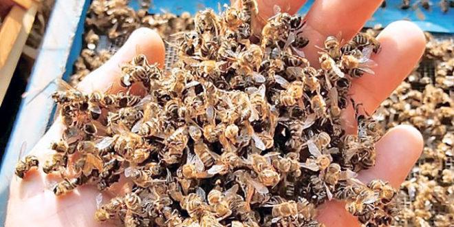 Пчеле убијају пестициди чији увоз нико не контролише!