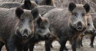 Стампедо 40 дивљих свиња протутњао селом у Банату 6