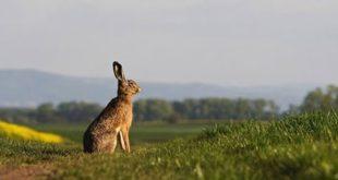 У недељу почиње сезона лова на зеца (видео) 10