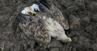 Масовно тровање животиња отровним и забрањеним пестицидом у Срему 5
