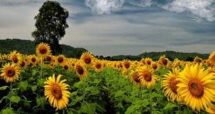 Жетва сунцокрета за десетак дана, још се не зна откупна цена 11