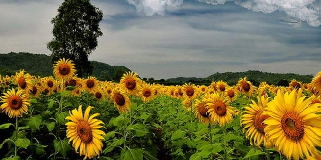 Жетва сунцокрета за десетак дана, још се не зна откупна цена
