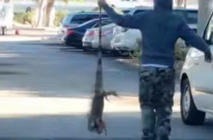 На Флориди је толико хладно да игуане падају са дрвећа (видео)
