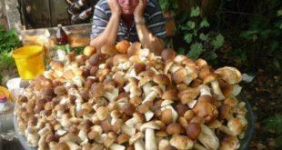 Напредни идиоти уводе порез на брање печурака и лековитог биља од 58% 2