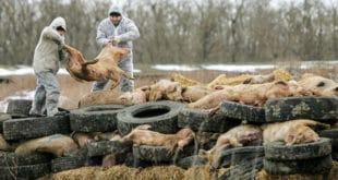 Све већи страх од афричке свињске куге у Европској унији 2