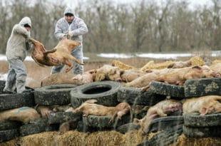 Све већи страх од афричке свињске куге у Европској унији 1