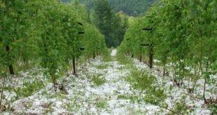Србија: Уништен овогодишњи род воћа, штете од 50 до 100 процената 2