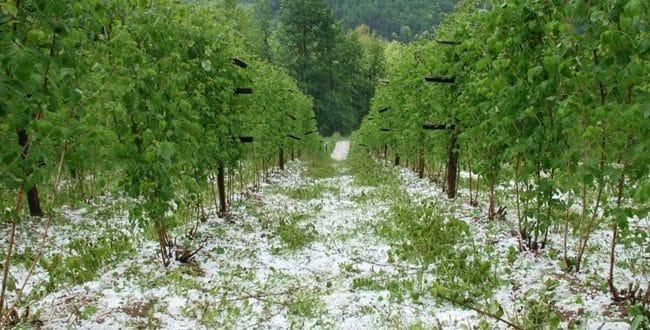 Србија: Уништен овогодишњи род воћа, штете од 50 до 100 процената