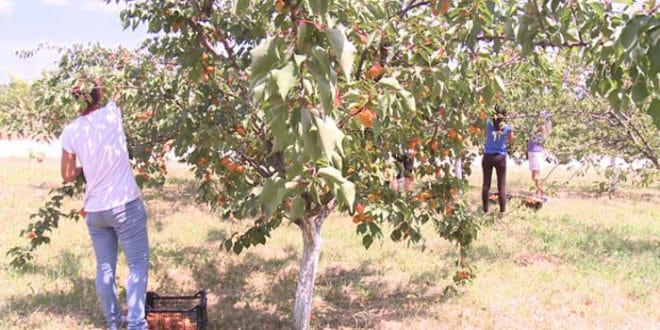 Због ниске откупне цене овогодишњи род кајсије завршиће у ракији