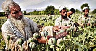 Производња и конзумирање хероина и наркотика експлодирало широм света! 4