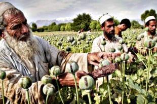 Производња и конзумирање хероина и наркотика експлодирало широм света!