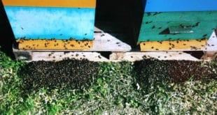 Пољопривредници хербицидима и пестицидима масовно уништавају пчеле 8