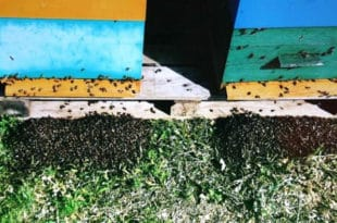 Пољопривредници хербицидима и пестицидима масовно уништавају пчеле 9