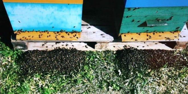 Пољопривредници хербицидима и пестицидима масовно уништавају пчеле 1