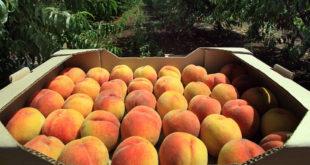 Русија забранила увоз коштуњавог воћа из Србије и Македоније
