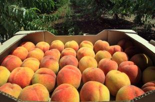 Гајба скупља него бресква: Ниска цена воћа не покрива ни трошкове производње