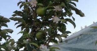 ЧУДО: У Чачку јабуке цветале у августу (фото)