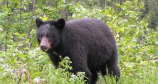 УЗБУНА У ШУМАДИЈИ Медвед прошетао крагујевачким селом 11