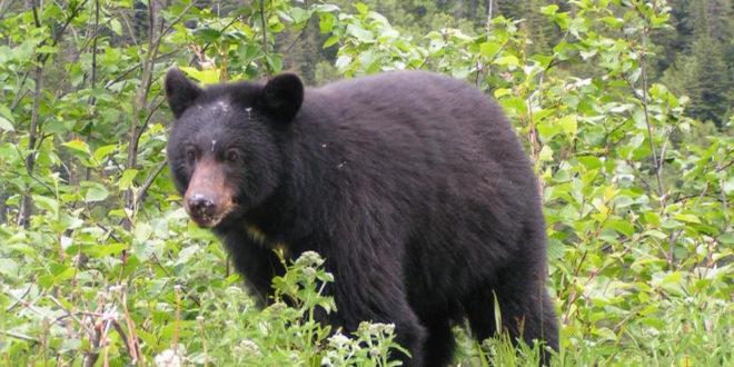 УЗБУНА У ШУМАДИЈИ Медвед прошетао крагујевачким селом 1