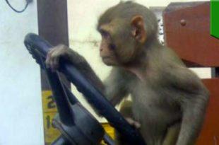 Пустио мајмуна да вози аутобус па суспендован са посла