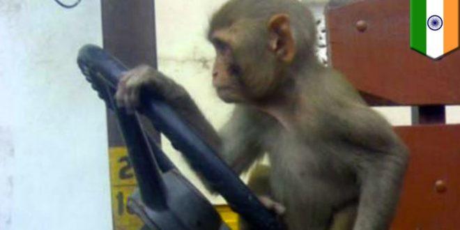 Пустио мајмуна да вози аутобус па суспендован са посла 1