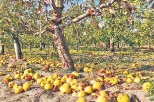 Добар род, јабуке остале неубране