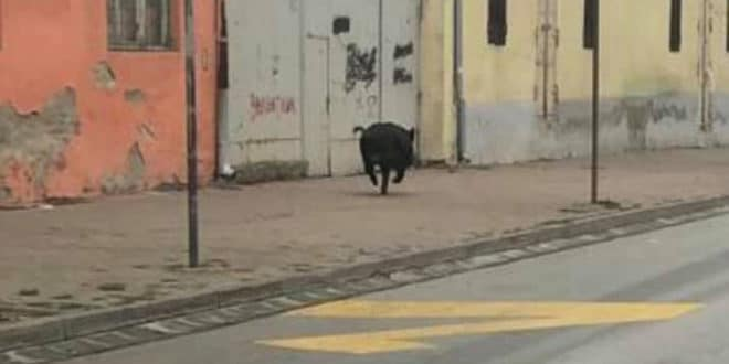 Узбуна у Шапцу - дивљи вепар у центру града (видео)