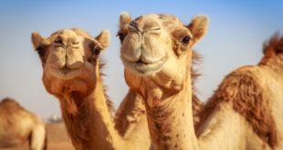Општина Лебане купује две камиле?! 12