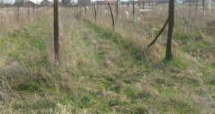Србија: 60% малињака запуштено, многи већ искрчени