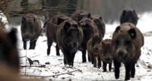 Зелено светло за одстрел дивљих свиња због куге