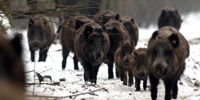 Зелено светло за одстрел дивљих свиња због куге 1