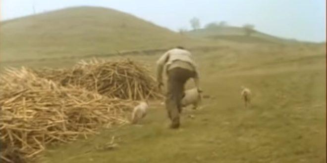 Тата, види прасе! 1