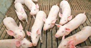 Србија ће можда морати да уништи до пола милиона свиња