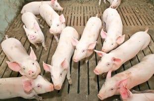 Због увоза пала тражња за домаћим свињама