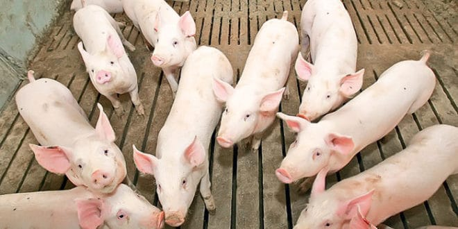 Србија ће можда морати да уништи до пола милиона свиња 1