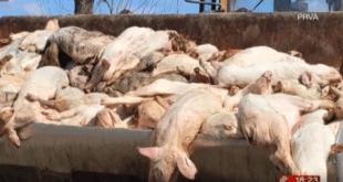 """Хорор: У """"ПKБ имесу"""" свиње саме себе једу због недостатка хране"""