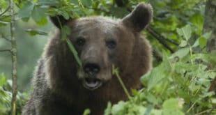 Медвед протрчао кроз чачанско насеље 9