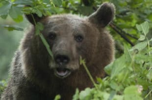 Медвед протрчао кроз чачанско насеље 10