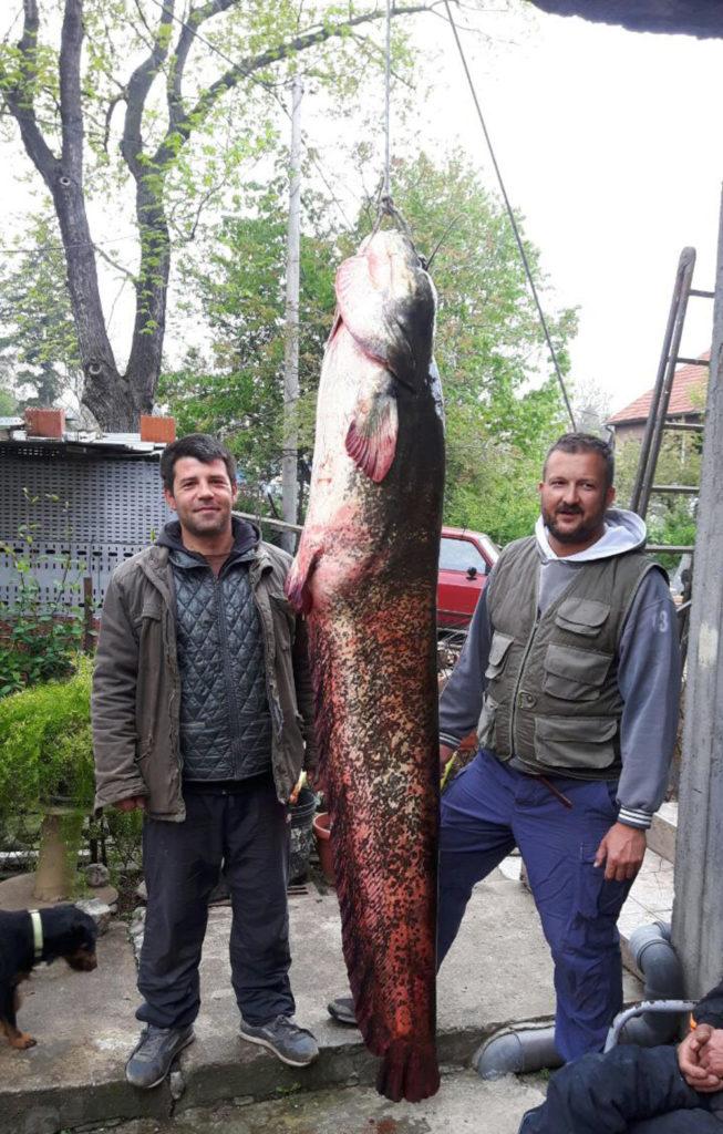 ГРДОСИJA ИЗ ГРУЖАНСKОГ ЈЕЗЕРА: Упецао сома дугачког 2 метра и тешког 80 килограма! 2