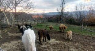 Kатастрофа у СВЦ Kрњача, бикови гладују, радници без плата 11
