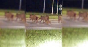 Недељу дана не можете дивље свиње да похватате, безбедност је на високом нивоу! 4